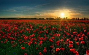 field of red flowers in sunset