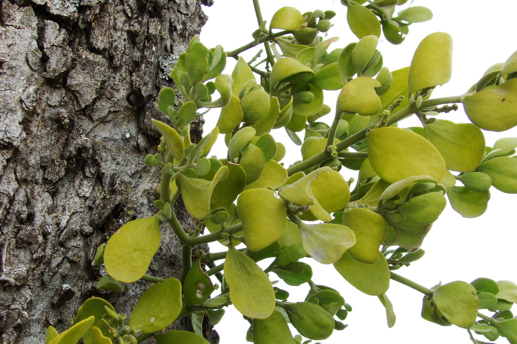 Not just a beautiful tree partner anymore, mistletoe has revealed its cancer-fighting powers.